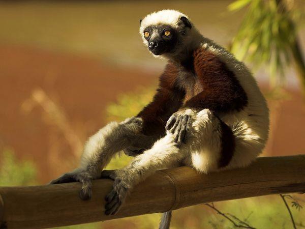 madagascar_lemur1